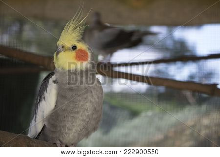 A beautiful grey and yellow domesticated cockatiel standing in a branch