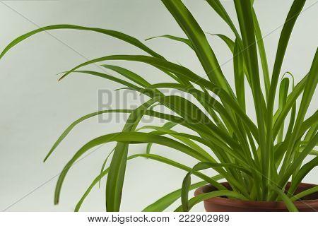green leaves of houseplant Chlorophytum in a pot