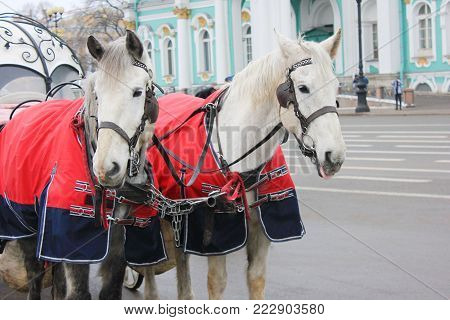 Horse in Carriage at Palace Square in Saint-Petersburg, Russia. Close Up View of Two Horses in Harness for Horse-Drawn Vehicle Waiting for Tourists to Ride. Cheap Old Fashioned Way to Travel in City.