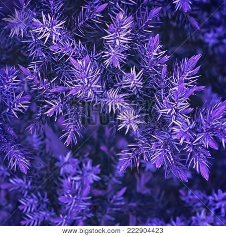 Ultra Violet background made of green branches and needles of juniper closeup with space for copy. Color of the year 2018, toned, selective focus.