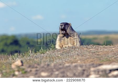closeup big fluffy marmot yelling in a meadow on blue sky background