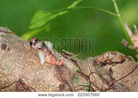 Cicada are molting in the garden nature and animals in Thailand.