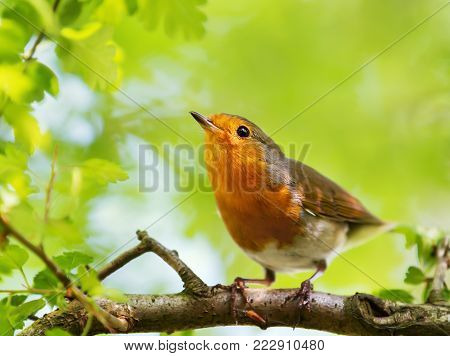 Close-up of European Robin (Erithacus rubecula) perching on a tree branch against green background, UK.