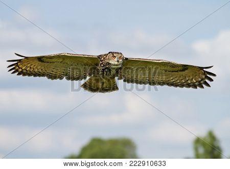 Eurasian Eagle-owl (Bubo bubo) in flight, summer in English countryside.