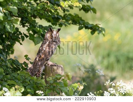 Long-eared owl perching on a post in the countryside in England.