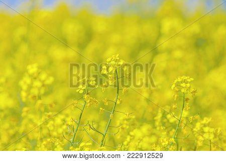 Flowers of the oilseed rape plant, yellow field