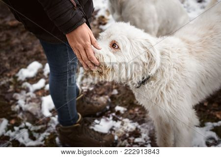 beautiful white dog gets some food after obey a command during a walk outdoors