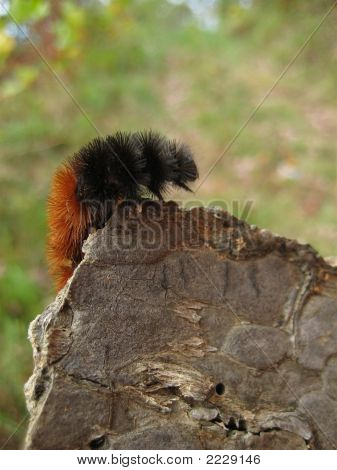 Woolly Worm