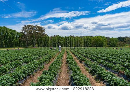 Strawberry patch, field with rows of strawberry plants. Agriculture background