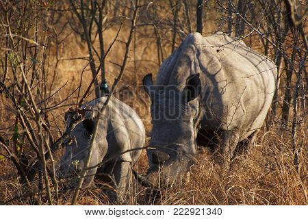 Mama rhino with baby rhino are grazing in african, orange bush, the baby has a black bird on the back