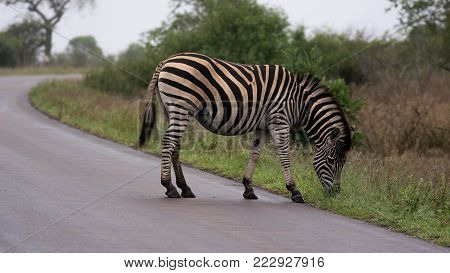 Burchell's Zebra with stripes in the belly leisurely grazing on side of the road