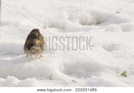 Little sparrow walking on snow during winter