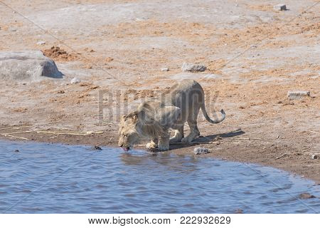 Lion drinking at water pond. Wildlife Safari in Etosha National Park, the main travel destination in Namibia, Africa.