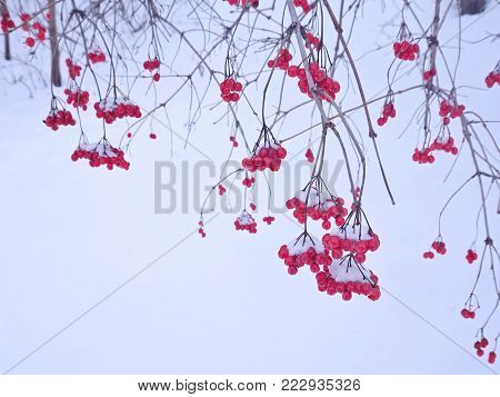 Gray branches with clusters of red berries. The berries are ripe, frozen. The berries are red. The snow is on the berry. Branches without leaves. Winter. Berries against white snow.