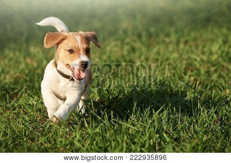 Happy puppy in the grass discovers the world. It is running on the lawn. waiving hapily with his tail and showing the toung.