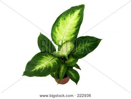 Dieffenbachia Houseplant
