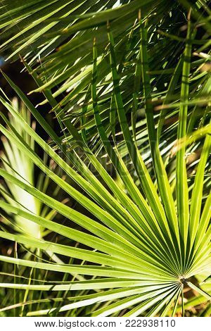 Palm leaves close-up, sunny day. The sun on the green leaves of the palm. Nature background, pattern.