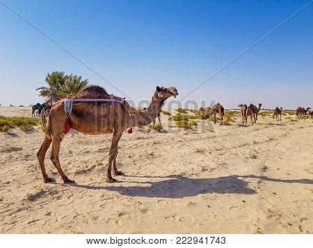 Camel In Desert Of Saudi Arabia