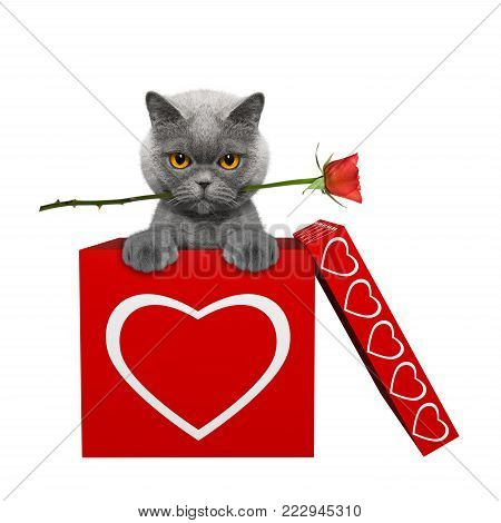 Cat with rose sitting in valentines box. Isolated on white background