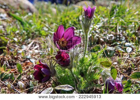 First spring blooming flower, purple plant macro, lumbago flower, dream grass, sleep-grass, symbol of spring. Latvia, Europe