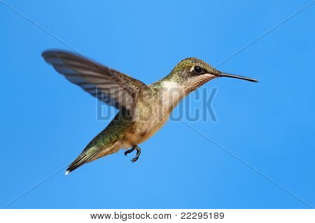 Juvenile Ruby-throated Hummingbird (archilochus colubris) in flight with a blue sky background poster