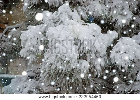 Christmas evergreen spruce tree with fresh snow on white . Evergreen tree branch covered with heavy snow in winter. Close up on fresh snow on green tree. Weather forecast concept.