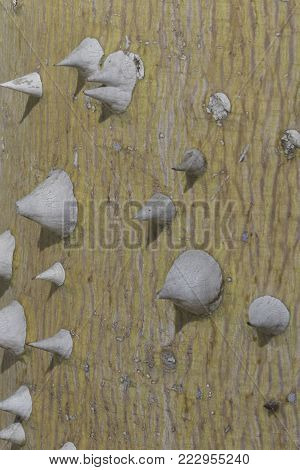 close up of the white thorny bark of the silk floss tree
