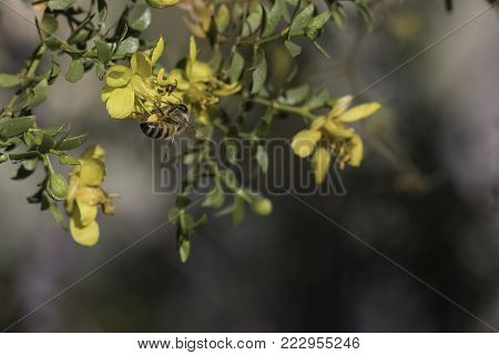 bee on a yellow creosote bush blossom