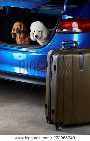 Travelling dogs friends in modern car trunk. Poodle and cocker spaniel traveling in car