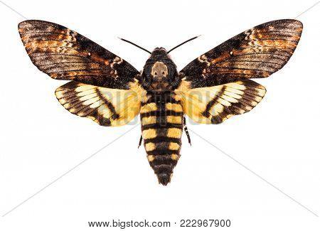 Female Death's head hawk-moth (Acherontia atropos) isolated on white background