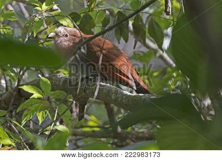 Squirrel Cuckoo Hiding in the Forest near Monteverde, Costa Rica