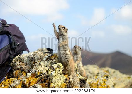 African ground squirrels with outstretched paws on the rock on the Canary Island Fuerteventura, Spain.