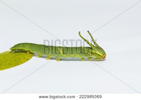 Isolated Caterpillar To Chrysali Of Great Eggfly Butterfly ( Hypolimnas Bolina Linnaeus ) On White W