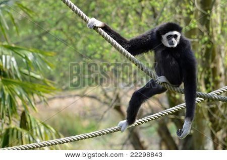 White-handed gibbon on ropes