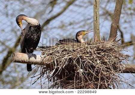 Two gret Cormorants in nest