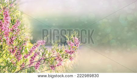 Spring natural background with pink flowering spring blossom, green lawn. Beautiful pink spring tender cherry or almond flowers blossom. Pink sharp and defocused flowers blooming tree, sun backlit.
