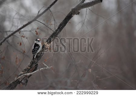 Downy Wood pecker sitting in a tree