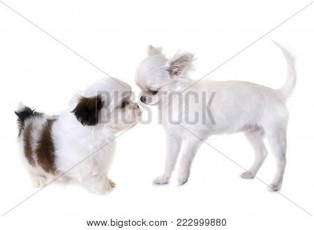 puppy shih tzu and chihuahua in front of white background