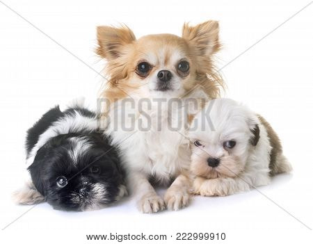 puppies shih tzu and chihuahua in front of white background