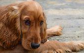Adorable Cocker spaniel puppy looking very sad poster