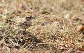 An Indian Bush Lark sitting on a the ground surrounded by dry vegetation poster