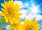 sunflower against blue sky with little honeybee poster