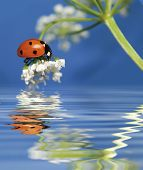 little sweet ladybug on a flower over water. More pictures of this cute beetle in my portfolio. poster