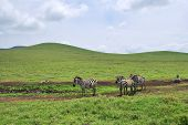 Green hills of Africa and zebras herd  in the Ngorongoro crater, spotted hyena on background,Tanzania poster