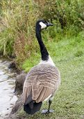 full length shot of a Canada goose poster
