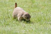 A prairie dog sniffs the ground seemingly in search for food. poster