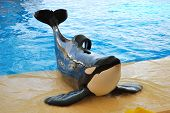 The orcas show in Loro Parque Tenerife island Spain poster