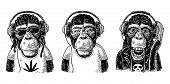 Thre Monkey in headphones. Hipster with dreadlocks, rocker, rastaman. Vintage black engraving illustration for poster. Isolated on white background poster