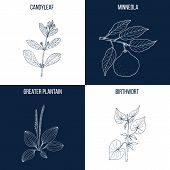 Vector collection of four hand drawn medicinal and eatable plants, candyleaf, minneola, greater plantain, birthwort poster