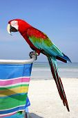 red macaw parrot on the beach poster